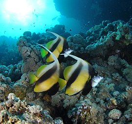 Three Red Sea bannerfish.jpg