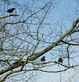 Three crows in a tree in Summit NJ.jpg