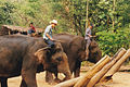 Three men on elephants that trees lifting Thailand.jpg