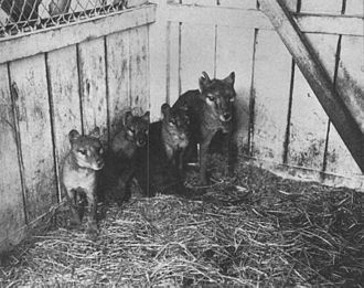 Thylacine family at Beaumaris Zoo in Hobart, 1909 Thylacine cubs.jpg