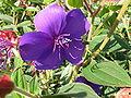 Tibouchina semidecandra 4.jpg