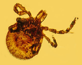 Tick - Fossilised tick in Dominican amber