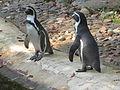 Tierpark Cottbus Humboldt-Pinguine.JPG