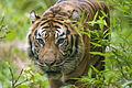 Tiger (3865426883).jpg