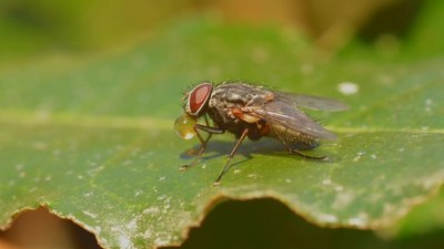File:Timelapse of a fly blowing a water bubble.webm