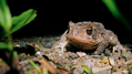Toad hunkered down (5857690970).png