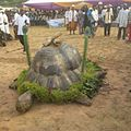 Tortoise maskuret 02.jpg