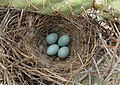 Toxostoma curvirostre -Tuscon, Arizona, USA -eggs in nest-8.jpg