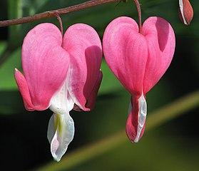 bleeding-heart / szívvirág