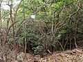 Trachelospermum asiaticum - Miyajima Natural Botanical Garden - DSC02419.JPG