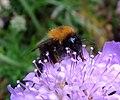 Tree bumblebee (Bombus hypnorum) on scabious, Sandy, Bedfordshire (7742419880).jpg