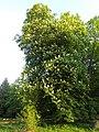 Tree in Bäketal Kleinmachnow 2014 2.JPG