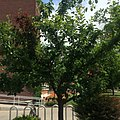 Tree of 40 Fruit at Syracuse University.jpg