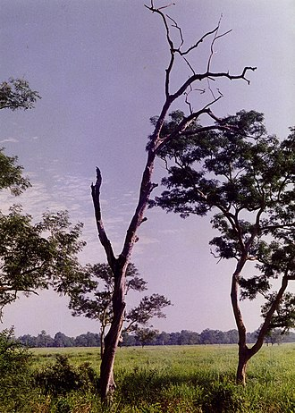 Kaziranga National Park - View of a leafless tree viewed from a watch tower in Kaziranga National Park with the backdrop of the grasslands and the forest in the distance