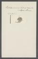 Trichoda succisa - - Print - Iconographia Zoologica - Special Collections University of Amsterdam - UBAINV0274 113 15 0042.tif