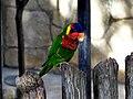 Trichoglossus ornatus -San Antonio Zoo-8c.jpg
