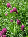 Trifolium alpestre Koniczyna dwukłosowa 2010-06-11 02.jpg