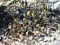 Trifolium angustifolium Habitus 2008-6-15 ValledeAlcudia.jpg