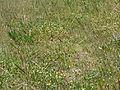 Trifolium campestre habit1 JK (10620962855).jpg
