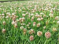 Trifolium fragiferum (subsp. fragiferum) sl13.jpg