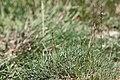 Triglochin palustris plant (02).jpg