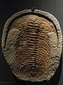 Trilobite fossil, Desert Museum.jpg