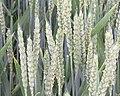 Triticum infloreszenz- Weizenähren in Blüte.jpg