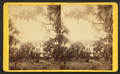 Tropical House, Rockledge, by J. S. Mitchell.png