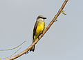 Tropical Kingbird JKD.jpg