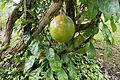 Tropical fruit (26854080083).jpg