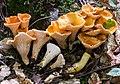 Turbinellus floccosus 246842.jpg