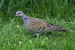 Turtle Dove (Streptopelia turtur) - geograph.org.uk - 667376.jpg