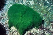 Turtle weed, Chlorodesmis fastigiata, at 6 meters depth.jpg
