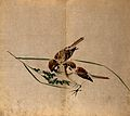 Two sparrows pecking at a seedhead of corn. Watercolour. Wellcome V0043824.jpg