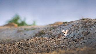 White-footed fox - Image: Typical Habitat for Desert Fox Dens