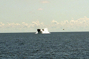 USS Pittsburgh (SSN-720) - USS Pittsburgh demonstrates an emergency main ballast tank blow in 1991.