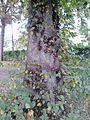 Ulmus laevis. Inverleith Park (opposite Inverleith Place), Edinburgh (2).jpg
