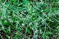 Unidentified Cyperaceae 09666.jpg