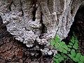 Unidentified fungi 6184.jpg