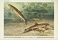 Unsere Süßwasserfische (Tafel 32) (6102602545).jpg