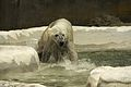 Ursus maritimus at the Bronx Zoo 005.jpg