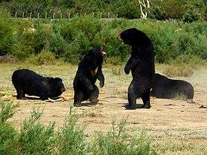 Fauna of Sindh - Black bears