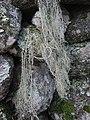 Usnea articulata (L.) Hoffm 298048.jpg
