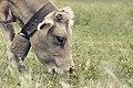 Vaca (8206838450).jpg