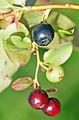 Vaccinium myrtillus - Bilberry - Maviyemiş 06.jpg