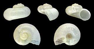 <i>Valvata macrostoma</i> species of mollusc