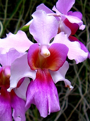 English: The orchid, Singapore's national flow...