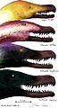 Velociraptorinae head comparison (in scale).jpg