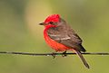 Vermillion Flycatcher (5295140525) (cropped).jpg