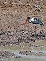Vervet Monkey and Saddle-billed Stork (Epphippiorhynchus senegalensis) female at waterhole ... (33104015186).jpg